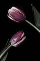 Two Tulips Fine Art Print