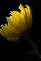 Yellow Mum Fine Art Print