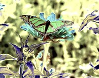 Green Monarch Fine Art Print