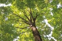 Hardwood Forest Canopy V Fine Art Print