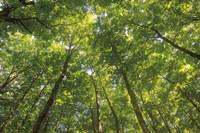 Hardwood Forest Canopy IV Fine Art Print