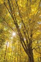 Autumn Foliage Sunburst II Fine Art Print