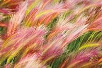 Foxtail Barley I Fine Art Print