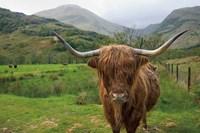 Scottish Highland Cattle III Fine Art Print