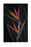 "Bird of Paradise by Rosemarie Stanford - 18"" x 27"""