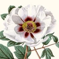 Cropped Antique Botanical II Fine Art Print