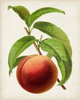 Antique Fruit V Fine Art Print