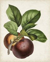 Antique Fruit IX Fine Art Print