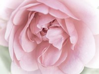 Pretty Pink Blooms II Fine Art Print