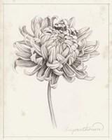 Graphite Chrysanthemum Study I Fine Art Print