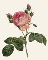Redoute's Rose I Fine Art Print