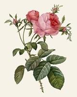 Redoute's Rose II Fine Art Print