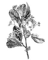 Hawthorn Berry Branch II Fine Art Print