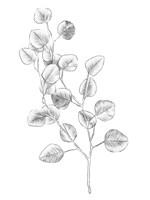 Eucalyptus Sketch IV Fine Art Print