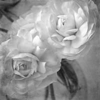 Dark Ranunculus I Fine Art Print