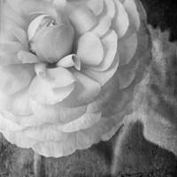 Dark Ranunculus II Fine Art Print
