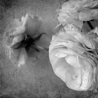 Dark Ranunculus III Fine Art Print