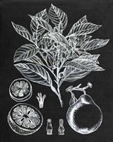 Citrus Botanical Study I Fine Art Print