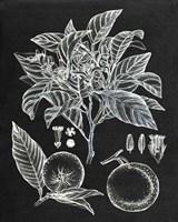 Citrus Botanical Study II Fine Art Print