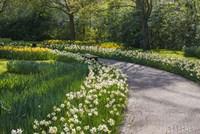Sunlit Path In Daffodil Garden Fine Art Print