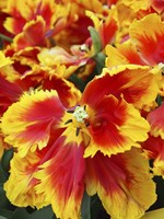 Yellow And Red Parrot Tulips Fine Art Print