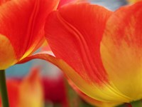 Macro Of Colorful Tulip 3, Netherlands Fine Art Print