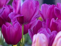 Tulip Close-Ups 1, Lisse, Netherlands Fine Art Print