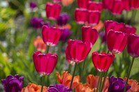 Bright Spring Tulips 1 Fine Art Print