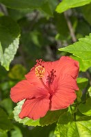 Hibiscus, New Smyrna Beach, Florida Fine Art Print