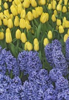 Hyacinth And Yellow Tulips In Garden, Las Vegas Fine Art Print