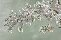 Cherry Tree Blossoms In Spring, Seabeck, Washington State Fine Art Print
