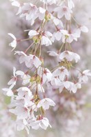 Cherry Tree Blossoms Close-Up, Seabeck, Washington State Fine Art Print