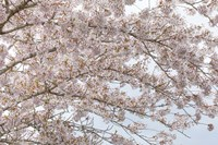 Cherry Tree Blossoms, Washington State Fine Art Print