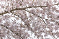 Cherry Tree Blossoms, Seabeck, Washington State Fine Art Print