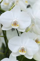 White Orchid Blooms Fine Art Print