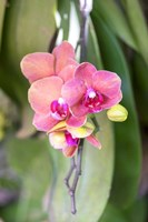 Orchid, USA Fine Art Print