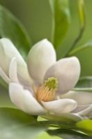 Magnolia Tree Flower Blossom Fine Art Print