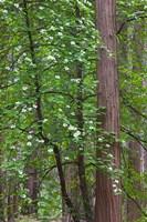 Flowering dogwood tree Yosemite NP, CA Fine Art Print