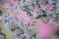 Weeping Cherry Tree Blossoms, Louisville, Kentucky Fine Art Print