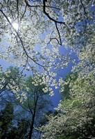 White Flowering Dogwood Trees in Bloom, Kentucky Fine Art Print