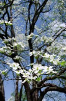 USA, Tennessee, Nashville Flowering dogwood tree at The Hermitage Fine Art Print