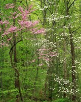 Eastern Redbud and Flowering Dogwood, Arlington County, Virginia Fine Art Print