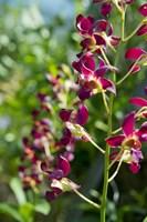 Jenny's Orchid Garden 2, Darwin, Australia Fine Art Print