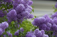 Lilacs In Bloom, Salzburg, Austria Fine Art Print