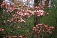 Pink Dogwood Blooms Fine Art Print