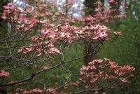 Pink Dogwood Blooms Fine Art Print