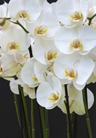White Orchid Blooms 1 Fine Art Print