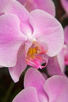 A Pink Orchid In The Phalaenopsis Family, San Francisco Fine Art Print
