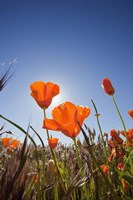 Poppies With Sun And Blue Sky, Antelope Valley, CA Fine Art Print