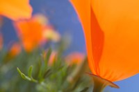 Poppies Spring Bloom 1. Lancaster, CA Fine Art Print